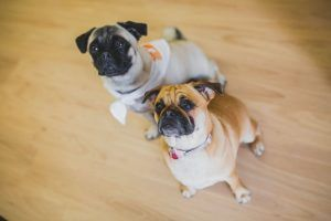 TPM Therapy Pugs | Townsville Physiotherapy